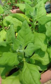 raw new Zealand spinach