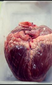 raw veal heart